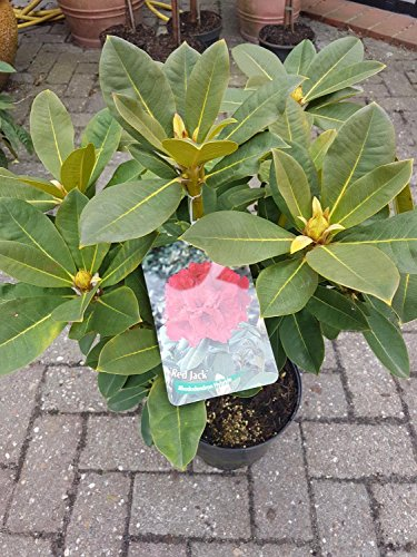 Rhododendron Red Jack 30-40 cm im 5 Liter Pflanzcontainer