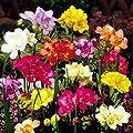 Gefüllte Freesien Mischung von Meingartenshop bei Du und dein Garten