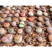 Lithops specie di mix 10,50,100 semi succulenta cactus pietre vive CombSH C71