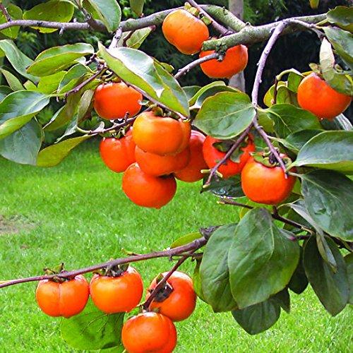 Venta 2016 nueva semilla de plantas suculentas semillas de caqui árboles frutales - 20 partículas