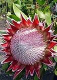 Tropica - Proteen und Banksien - Königsprotea (Protea cynaroides) - 5 Samen