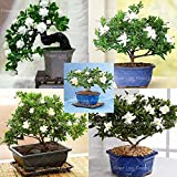 100 Gardenia Seeds (Cape Jasmin) -DIY Hausgarten-Topf Bonsai, erstaunliche Geruch und schöne Blumen,
