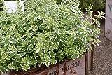 Nepeta cataria subspecies citriodora - Im 0,5 lt. Vierecktopf