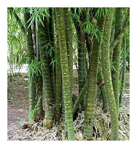 Bambusa tuldoides – Buddha Belly Bambus – 10 Samen