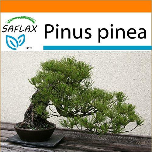 SAFLAX - Garden in the Bag - Bonsai - Mittelmeer-Pinie - 6 Samen - Pinus pinea - Garden In A Bag