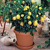 #9: Bonsai Plant Dwarf Lemon Tree Bonsai Seeds (Pack Of 5) ForWindow-by Creative Farmer