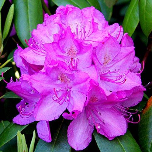 rhododendron-roseum-elegance-1-shrub