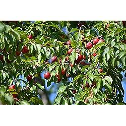 Kirschpflaume Prunus cerasifera 10 Samen