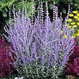3 X PEROVSKIA 'BLUE SPIRE' RUSSIAN SAGE DECIDUOUS SHRUB HARDY PLANT IN POT
