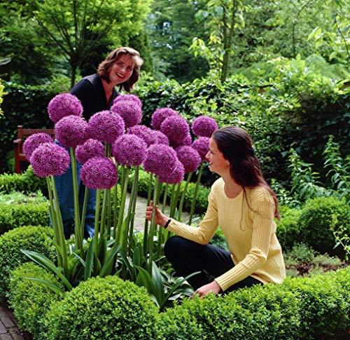 UPSTONE Garten - Riesen Zierlauch Sternkugel Lauch Allium giganteum Blumenlauch mehrjährig winterhart (20, Rot globemaster)