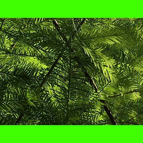 green-chimera