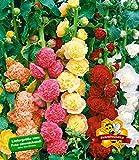 BALDUR-Garten Stockrosen-Malven-Mischung, 3 Pflanzen Alcea rosea 'Pleniflora' winterhart Gefüllt blühende Garten Stockrose