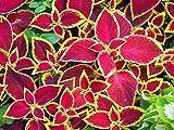 Buntnessel Samen, Coleus scutellariodes 5 Samen ' Rustic Red Giant Exhibition' Sorte mit riesigen Blättern