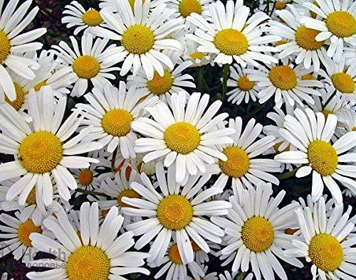 Magerwiesen-Margerite - Wilde Margerite - Chrysanthemum leucanthemum - Blume - 1000 Samen