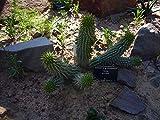 Asklepios-seeds® - 15 keimfähige Samen von Hoodia gordonii. Deutsche Zucht !! keine Wildentnahme !!