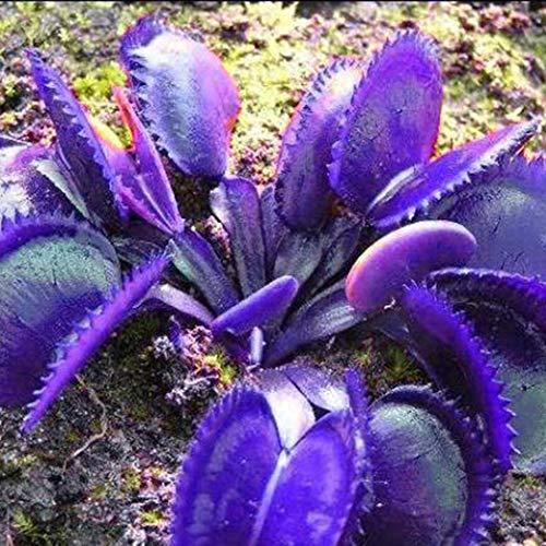 Anitra Perkins - 50 Korn Selten mehrfarbige Venusfliegenfalle Samen Dionaea muscipula Fleischfressenden Pflanzen Flytrap Seeds, Sehr Riesen (Lila)