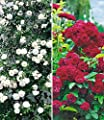 BALDUR-Garten Rambler-Rosen-Kollektion, 2 Pflanzen 1 Rambler-Rose Alberic Barbier und 1 Rambler-Rose Chevy Chase von Baldur-Garten - Du und dein Garten