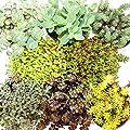 8 verschiedene Winterharte Sedum-Pflanzen - Fetthenne - abwechslungsreiches Farbspiel von exotenherz bei Du und dein Garten