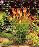 SwansGreen 6 : 50Pcs Poker (Kniphofia Uvaria) Seeds Beautiful Bonsai Torch Lily Seeds Perennial Potted Family Garden Beautiful Decorative Flowe 6