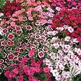 Dianthus chinensis var.telstar - Clavelina - Maceta de 10,5cm - Rosa/Blanco - 15unidades