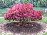 Lace Blatt Japanischer Ahorn Acer palmatum dissectum Baum-Samen-Fall Farbe, Bonsai 10