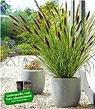 Schwarzes Lampenputzergras,1 Pflanze