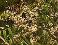 100 Neembaum Samen, Niembaum, Azadirachta indica, Vierziger Baum, ayurveda Medizin von rareseeds bei Du und dein Garten