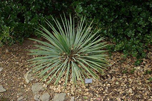 5 Samen von Yucca Glauca Rare Baum