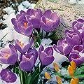 Gartenkrokus-Mischung Krokuswiese Blaue Symphonie von Gärtner Pötschke - Du und dein Garten