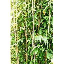Bambus Fargesia Maasai - Säulenbambus, winterhart, bildet keine Wurzelausläufer (125/150 cm hoch)