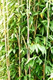 Bambus Fargesia Maasai - Säulenbambus, winterhart, bildet keine Wurzelausläufer (80/100 cm hoch)