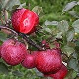 Apfelbaum rotfleischige 'Baya Marisa' 160 cm 10 L Co.