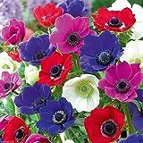 Ampoules de 50Anémone-Mélange de couleurs de rose, violet, blanc, fuchsia et rouge, taille 6/7