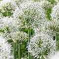 RIESEN LAUCH WEISS (Allium giganteum) - 30 Samen / Pack - Zierlauch - Winterhart - Riesenlauch von Saatgut auf Du und dein Garten
