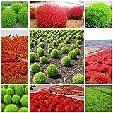 Grass Seeds Perennial 100pcs Kochia Scop...