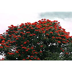 African Tulip Tree 25 Seeds - Spathodea campanulata by Hirts: Seed; Trees & Shrubs