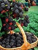 Brombeere Chester Thornless. dornenlos. 3 Pflanzen. - zu dem Artikel bekommen Sie gratis ein Paar Handschuhe für die Gartenarbeit dazu