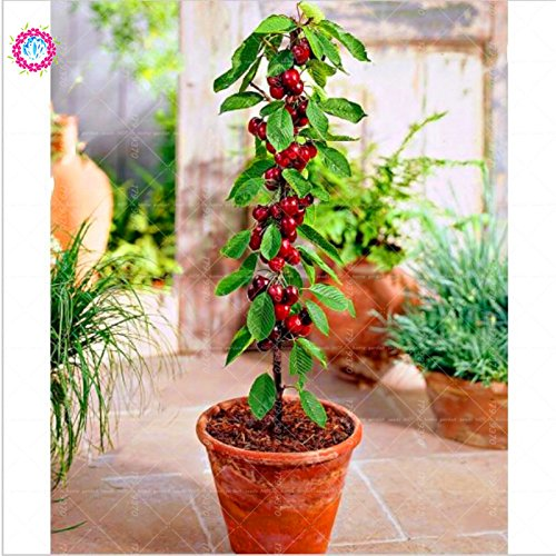 10 pcs / sac graines de cerise mini-tree Black Cherry graines de fruits bio graines d'arbres bonsaï pot alimentaire super doux pour le jardin de la maison 1