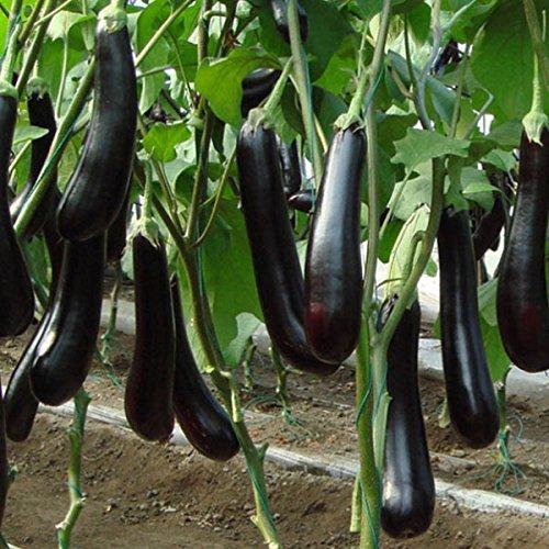 100pcs / sac long aubergine pourpre nutritifs et délicieux, graines de légumes de vente chaude