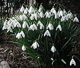 """10 Bulbi del Bucaneve """"Galanthus Nivalis"""" - bulbi formato: 5/6 - VASO O GIARDINO CON ISTRUZIONI fioritura primavera"""