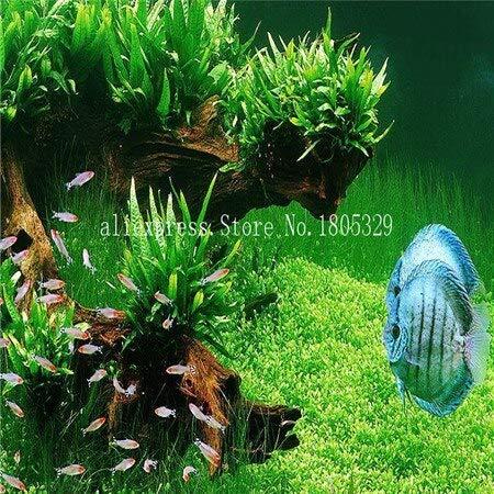 FARMERLY Samen Paket: Seedss Aquarium Aquarium Dekoration s Samen Seedss Samen 100seeds / bag: 1 (Fish Tank Dekorationen Billig)