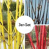 Gehölz-Set Hartriegel schwarz-rot-Gold, mit 3 Pflanzen, je im 4,6 l Topf