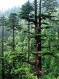 Himalaya-Zeder -Cedrus deodara- -Winterhart- 10 Samen **Bis zu 35 Meter hoch**