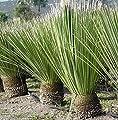Rauschopf - Dasylirion Serratifolium - verschiedene Größen von GardenPalms auf Du und dein Garten