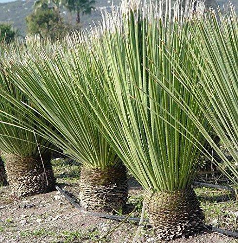 Rauschopf - Dasylirion Serratifolium - verschiedene Größen (90-110cm - TopfØ 33cm)