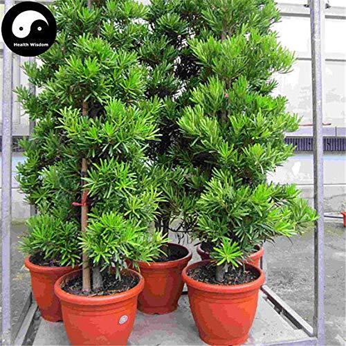 PLAT FIRM KEIM SEEDS: 30pcs: Kaufen Pseudolarix Amabilis Baumsamen Pflanze Pine Bonsai China Jin Qian Lied