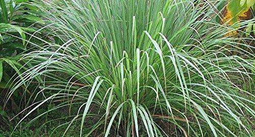 citronella nr.40 semi cedrina antizanzare sementi offerta