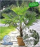 BALDUR-Garten Winterharte Kübel-Palmen Chinesische Hanfpalme Freilandpalme Gartenpalme, 2 Pflanzen, Trachycarpus fortunei frosthart