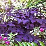 Pinkdose Bluelans 10 Pcs Shamrock Oxalis Triangularis Garden Plant Leaf Garden Flower Seeds