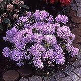Dominik Blumen und Pflanzen, Zwerg-Rhododendron, Rhododendron impeditum, blau blühend, 1 Strauch, buschig, 15 - 20 cm hoch, 2 Liter Container, plus 1 Paar Handschuhe gratis